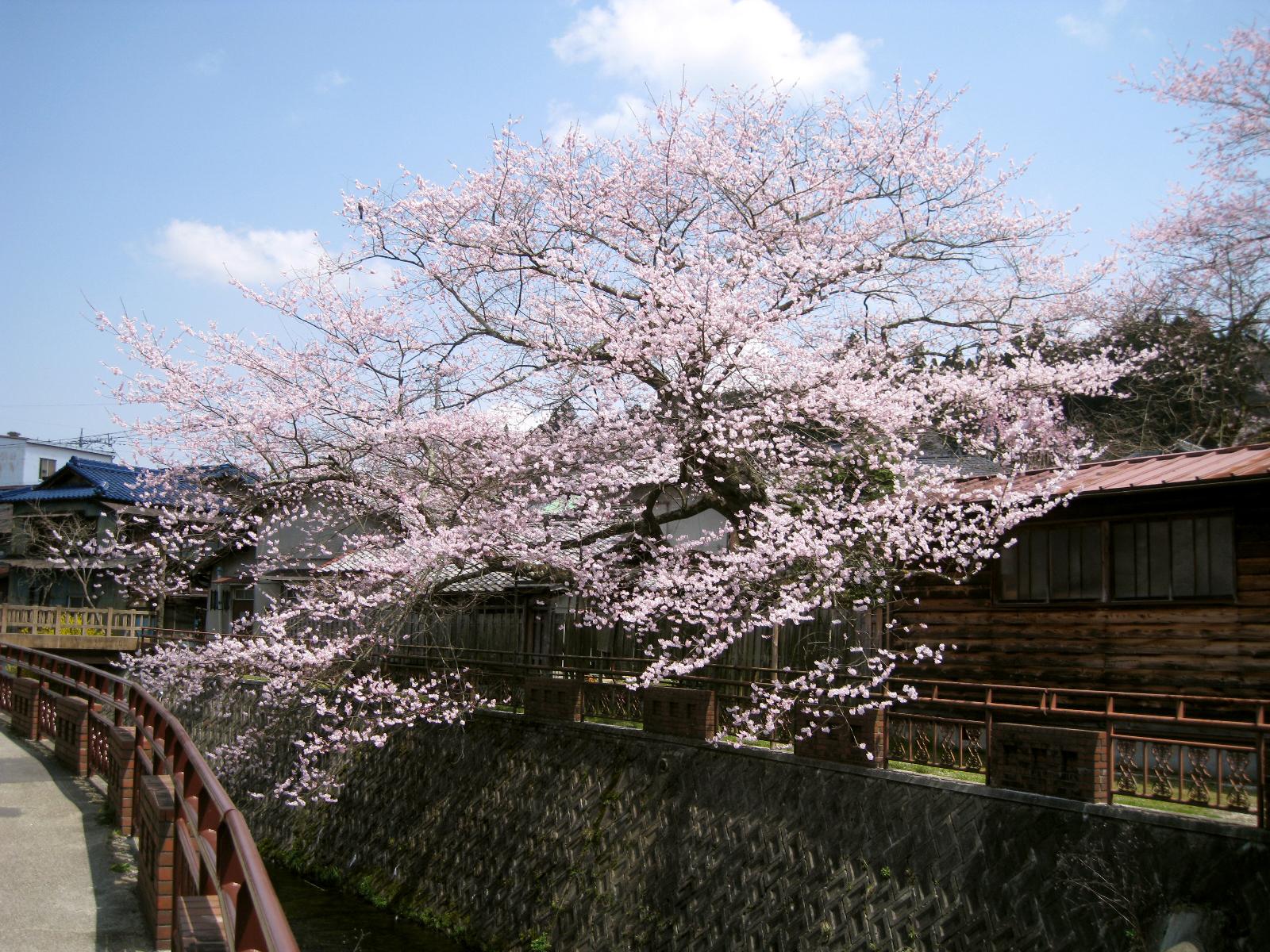 明智_遠山桜